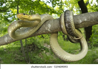 Aesculapian snake (Zamenis longissimus) knotted on a branch of a tree in its natural woody habitat. looking at the camera. wide angle macro. Liguria. Italy.