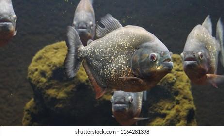 aestetics red-belllied piranha