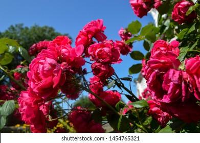 Aesthetics Rose Images, Stock Photos \u0026 Vectors