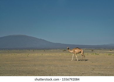 Afar Region, Ethiopia - January 01, 2019: Close up image of lonely camel in the Danakil desert in Erta Ale Volcano, in Afar Region, Ethiopia.