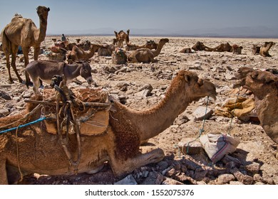 Afar Region, Ethiopia - January 03, 2019: Camels resting in a salt mine in the desert on a hot day in Afar Region, Ethiopia.