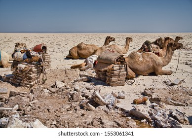 Afar Region, Ethiopia - January 03, 2019: Caravan with camels resting in the desert, on a salt mine, after the packs with salt were taken from their backs, on a hot day, in Afar Region, Ethiopia.