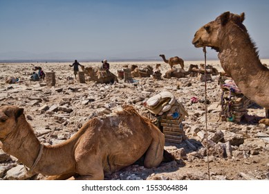 Afar Region, Ethiopia - January 03, 2019: Camels resting in a salt mine in the desert, while some local men are working trying to get salt out of the ground, on a hot day in Afar Region, Ethiopia.