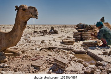 Afar Region, Ethiopia - January 03, 2019: Camel resting in a salt mine in the desert, while a  local man is trying to get salt out of the ground, on a hot day in Afar Region, Ethiopia.