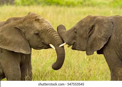 Affection between elephants