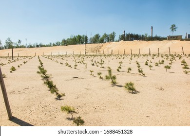 forestación de la antigua mina de arena, plantada con plantones de pino