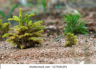 Afforestation. Young firs and pine planted (regrowth) on plot with sandy soil, spruce undergrowth. Small trees in summer