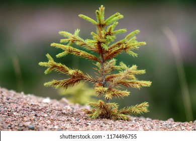 Afforestation. Young firs planted (regrowth) on plot with sandy soil, spruce undergrowth. Small trees in summer