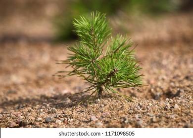 Forestación. Jóvenes pinos plantados (regenerados) en parcela con tierra arenosa, pasto de pino. Pequeños árboles en verano