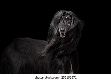 188b830d0b6 Afgan hound on the black background