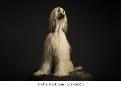 Afghan dog with dark markings