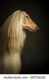 Afghan dog in profile