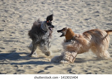 Afghan dogs fighting on the beach