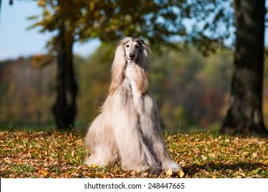 afghan hound autumn