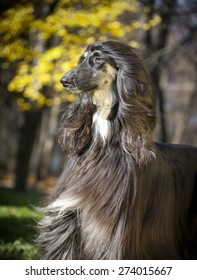 afghan hound autumn portrait