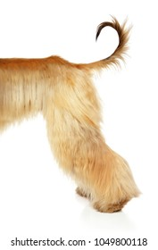 Afghan hound back of body on white background