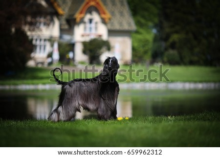 Afghan hound Ch White