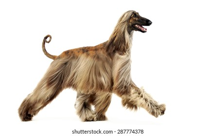 afghan hound dancing in the white studio