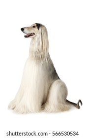 Afghan hound dog (eight years old) sitting on white background