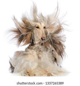Afghan hound Dog  Isolated  on white Background in studio