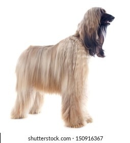 afghan hound in front of white background