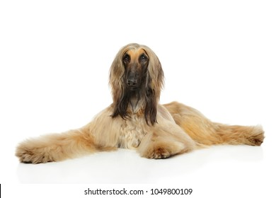 Afghan hound graceful lying on a white background
