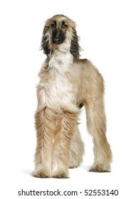 Afghan hound with his hair in the wind, 1 year old, in front of white background