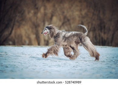 Afghan Hound running