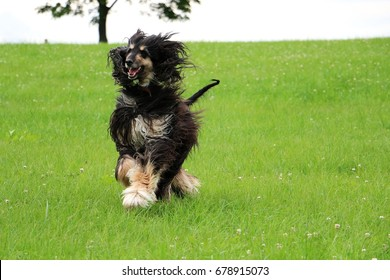 afghan hound is running in the park