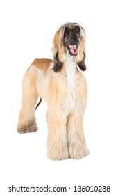 Afghan Hound (Sage Balochi, Ogar Afgan, Eastern Greyhound, Persian Greyhound)