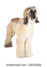 Afghan Hound (Sage Balochi, Ogar Afgan, Eastern Greyhound, Persian Greyhound)
