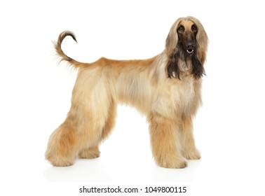 Afghan hound in stand on white background