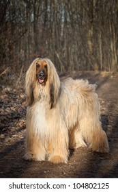 Afghan Hound standing outdoors
