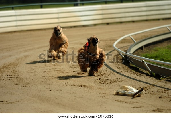 Afghan hounds chasing the hare