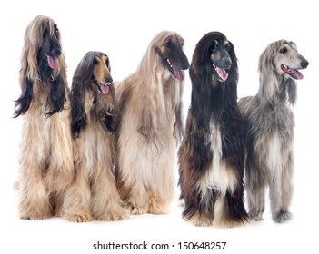 afghan hounds in front of white background