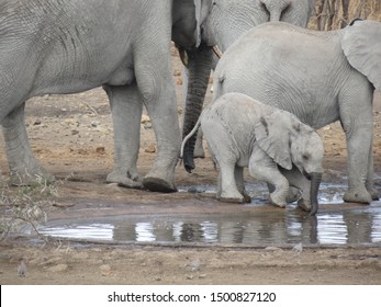 Afican Elephants (Loxodonta) In South Africa