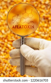 Aflatoxin poisonous carcinogens in harvested corn kernels detected by scientist, conceptual image