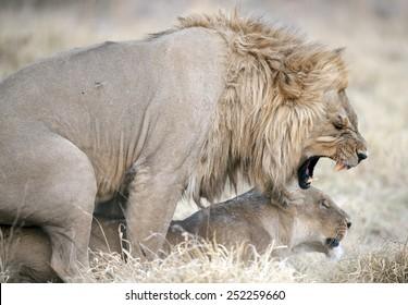 Africa  Botswana, lions mating.