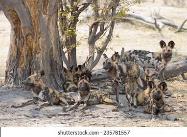 africa Botswana Okavango  delta, wild dogs