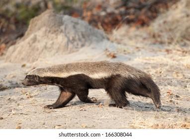 Africa  Botswana wildlife honey badger