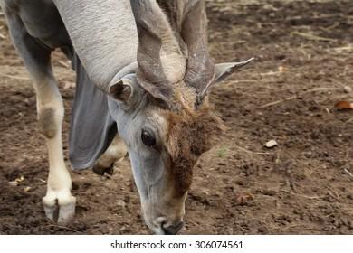Africa eland with twist horn, animal  eating grass on ground ,Eland, Taurotragus oryx, single mammal head shot, South Africa, deer