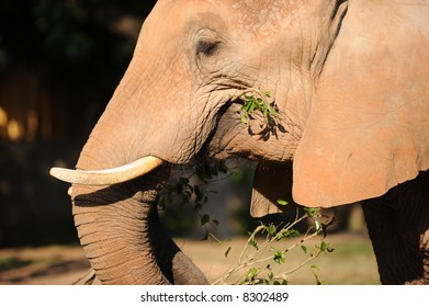 Africa Elephant Eating or chewing