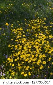 Africa, Ethiopia, Ethiopian Highlands, Western Amhara, near Gondar, meskel flowers (Yadey abeba). Meskel flowers in full bloom.