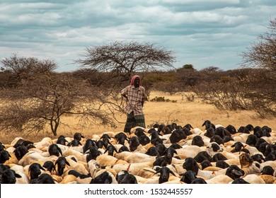 Africa, Kenya, Kenyan-Somali border -    Kenyan man graze a flock of sheep- August 20, 2018,