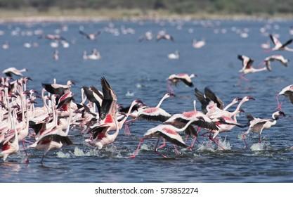 AFRICA, KENYA, Lake Bogoria National Reserve, flamingos in the lake