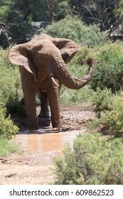 Africa, Kenya, Samburu, Ewaso Ng'iro River, African elephant (Loxodonta africana). 2016-08-04