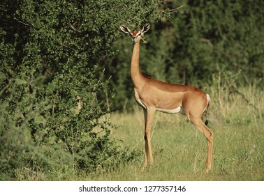 Africa, Kenya, Samburu National Reserve, Female Gerenuk (Litocranius Walleri)