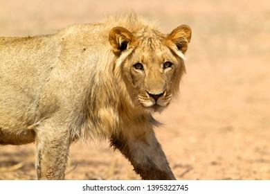Africa lion (Panthera leo) - Young male, Kgalagadi Transfrontier Park, Kalahari desert, South Africa.
