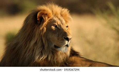 Africa Lion from Serengeti Tanzania is the big lion