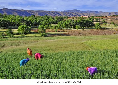 Africa- Morocco - Moroccan arab women to agricultural work in rural areas - Dades Valley, work and sexual emancipation